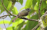 Inca Flycatcher