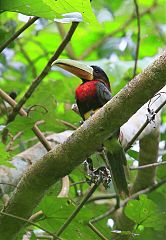 Ivory-billed Aracari