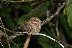 Ladder-tailed Nightjar