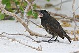 Española Ground-Finch