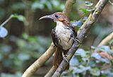 Large Scimitar-Babbler