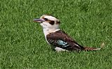 Laughing Kookaburraborder=