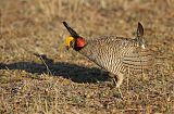 Lesser Prairie-Chicken