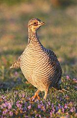 Lesser Prairie-Chicken