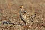 Lesser Prairie-Chickenborder=