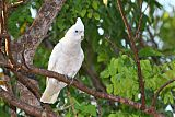 Little Corella