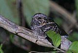 Little Nightjar