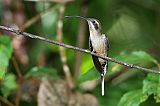 Long-billed Hermitborder=