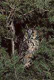 Long-eared Owlborder=