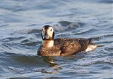 Long-tailed Duckborder=