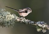 Long-tailed Titborder=