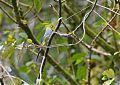 Long-tailed Silky-flycatcherborder=