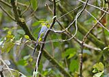 Long-tailed Silky-flycatcherborder=