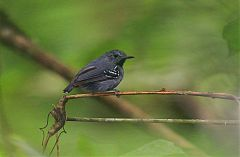 Long-winged Antwren