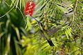 Talamanca Hummingbirdborder=