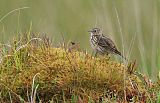 Meadow Pipitborder=