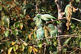 Mealy Parrotborder=