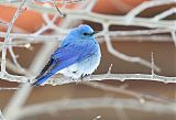 Mountain Bluebirdborder=