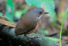 Moustached Antpitta