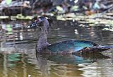 Muscovy Duckborder=