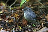 New Zealand Robin