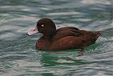 New Zealand Scaupborder=