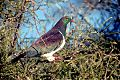 New Zealand Pigeonborder=