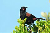 North Island Saddlebackborder=
