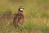 Northern Bobwhiteborder=