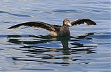 Northern Giant-Petrelborder=