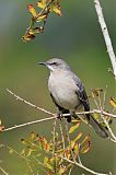 Northern Mockingbirdborder=
