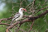 Northern Red-billed Hornbillborder=