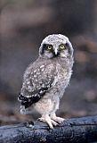 Northern Hawk Owlborder=