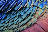 Ocellated Turkeyborder=