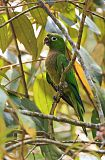 Olive-throated Parakeetborder=