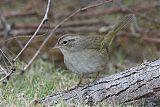 Olive Sparrowborder=