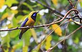 Orange-bellied Leafbirdborder=