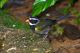 Orange-billed Sparrowborder=