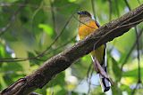 Orange-breasted Trogonborder=