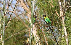 Orange-cheeked Parrot