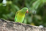 Orange-chinned Parakeetborder=