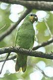 Orange-winged Parrotborder=