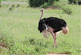Common Ostrichborder=