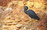 Pacific Reef-Heron