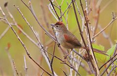 Pale-breasted Spinetail