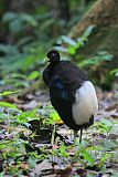 Pale-winged Trumpeterborder=