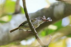 Pearly-vented Tody-Tyrant