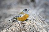 Peruvian Sierra-Finchborder=