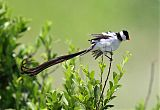 Pin-tailed Whydahborder=