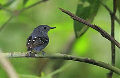Plain-throated Antwren